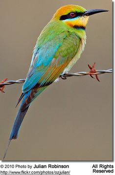 <3Like all bee-eaters, rainbow bee-eaters are very social birds. When they are not breeding they roost together in large groups in dense undergrowth or large trees.