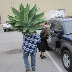 Agave - Will it fit???
