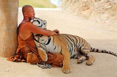 One man and his tiger! Buddhist cuddles up to deadly big cat... one of a HUNDRED raised by the monks from cubs Cuddling up: In this remarkable photograph, an adult tiger and a Buddhist monk embrace in a seemingly mutual display of affection