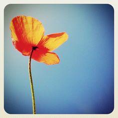 Little #poppy #flower from #swords #park #gf_ire #ubiquography #ireland #ebstyles_gf #earlybirdlove #blue #red - @alanisko- #webstagram
