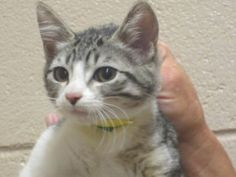 Dice is an adoptable Domestic Short Hair - Gray And White Cat in Gainesville, GA.   http://www.petfinder.com/petdetail/23628859