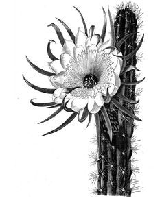 Cactus Flower meaning endurance, warmth