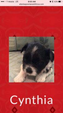 Shih Tzu Puppy For Sale In Lawrenceville Ga Adn 28574 On