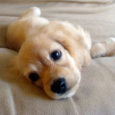 Golden Puppy! via Pinerly - your Pinterest friendly dashboard: http://www.pinerly.com/i/2rjGf