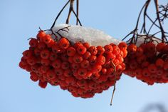 Mountain Ash berries - never tried these!