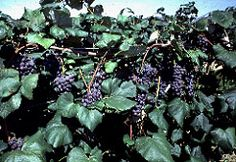 10 Best Growing Grapes Images Growing Grapes Gardens