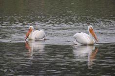 American White Pelicans ©Steve Frye. Wild Bird Company - Boulder, CO, Saturday Morning Bird Walk in Boulder County - May 14, 2016.