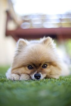 Cute Pomeranian puppies deserve cute Pomeranian names like these... http://www.dog-names-and-more.com/pomeranian-names.html