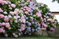 Hydrangeas do well with filtered sunlight. They don't do well in the hot afternoon sun and will burn very quickly.