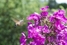 """Willst auch du ein Taubenschwänzchen anlocken?Es hat einen langen Saugrüssel und kann so Blüten""""knacken""""die für andere Insekten unzugänglich sind."""