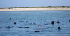 Have you been to Lighthouse Beach in Chatham to watch the seals frolic in the waters close to the beach. On some days you may catch a glimpse of just a few - or a few hundred!