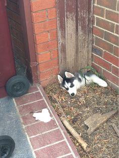 Husky escape attempt