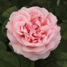 Hybrid Tea Rose: Rosa 'Donatella' (France, before Rose Pictures, Flower Photos, Ikebana, Rose Meilland, Roses David Austin, Rectangle Garden Design, Parfum Rose, Calla Lillies, Growing Roses