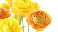 Ulkonäöltään jaloleinikin kukka on puolipallomainen, joka näyttää hieman pieneltä pionilta tai ruusulta. Se on erittäin kaunis korumaiseen morsiuskimppuun! Kauniissa kukassa on paljon ohuita ja herkkiä terälehtiä. Jaloleinikistä löytyy myös lajikkeita, joilla on yksinkertaiset kukat. Kukan värien kirjo on miellyttävä. Värit vaihtelevat punaisen, vaaleanpunaisen, keltaisen, oranssin, valkoisen ja vihertävän sävyissä.