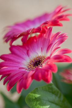 Amazing Flowers, Pink Flowers, Beautiful Flowers, Pink Petals, Accessoires Photo, Daisy Love, Gerber Daisies, Agaves, Belleza Natural