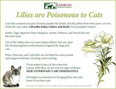 Lilies are a popular Easter and spring plant, but are extremely toxic to cats!