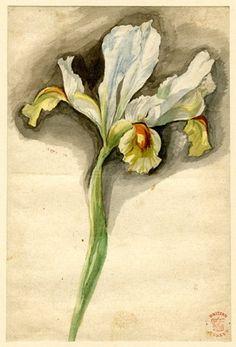 Jan van Huysum (Dutch, 1697-1749). Iris. Watercolor.
