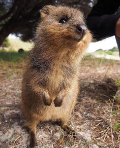 """""""Oh hai... can we be best friends please?"""" - This cute #quokka came up to say g'day to…"""""""
