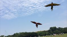 Bingo and Prada stretching their wings! #hyacinthmacaw #parrots #macaws #loro…