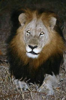 Mak Beautiful Cats, Big And Beautiful, Lions Photos, Wild Lion, Black Lion, Wild Creatures, Hyena, Kitty Cats, Predator