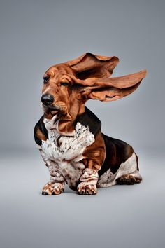 basset hound blowing in the wind