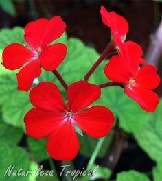Flores rojas de una especie de geranio, Pelargonium sp