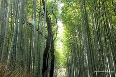 Arashiyama et sa forêt de bambous , Adam Khalife