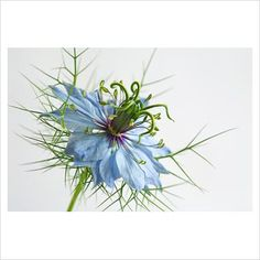 Nigella damascena - Love-in-a-mist; Language of Flowers - Confusion Plant Pictures, Flower Pictures, Pictures To Draw, Garden Plants, Flower Gardening, Every Rose, Language Of Flowers, Nigella, Pretty Pastel
