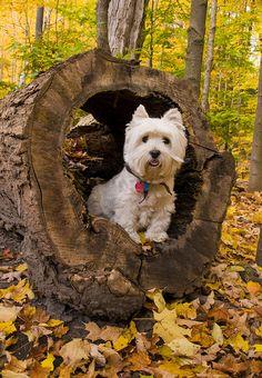 Westie found a hiding place