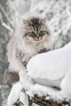 Cat in Snow ❤❥*~✿Ophelia Ryan✿*~❥❤