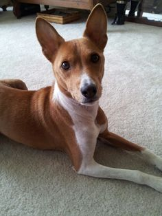 The most beautiful Basenji in the world!  (At 11 and a half years old)