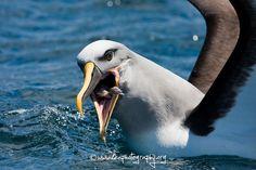 A quick snack for a Buller's Albatross. #birds #birdwatching #travel #cute #beautiful #wow #animals #wildlife #southafrica #capetown #albatross #ocean