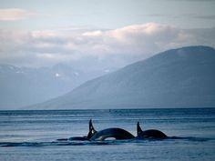 See photos of Alaska, including the Alaska Range, Kodiak, and brown bears, in this photo gallery from National Geographic. National Geographic Wallpaper, Glacier Bay Alaska, Alaska The Last Frontier, Living In Alaska, Wale, Alaska Travel, Killer Whales, Whale Watching, Ocean Life