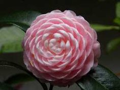 """Speaking of pretty flowers, may I present to you the """"Eighteen Scholars"""", the flower of my heart-a variation of Camellia japonica L. Its uniqueness lies in the layers and layers of petals-one flower. Flowers Nature, Beautiful Flowers, Spirals In Nature, Landscape Curbing, Garden Of Earthly Delights, Foundation Planting, Ivy House, Camellia, Mother Nature"""