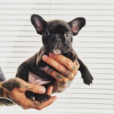 Puppy Love :: The most funny cutest :: Free your Wild :: See more adorable Puppies Dogs :: French Bulldog For Sale, Bulldog Puppies For Sale, Cute Puppies, Cute Dogs, Dogs And Puppies, French Bulldogs, Doggies, Baby Animals, Cute Animals