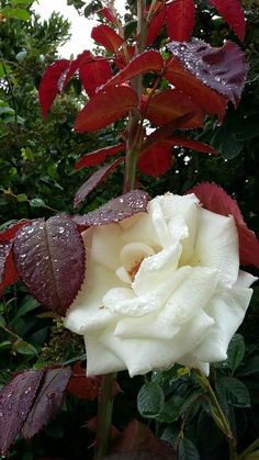 All white flowers are beautiful and with meanings of their own. Beautiful Flowers Wallpapers, Beautiful Rose Flowers, Amazing Flowers, Pretty Flowers, Beautiful Gardens, Beautiful Beautiful, Types Of White Flowers, Small White Flowers, White Wedding Flowers