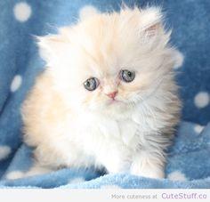 cute cats and kittens | 10 Cute Persian Kitten Photos | CuteStuff.co - Cute Animals, Cute ...