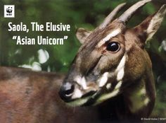"""Have you ever heard about the saola?  The saola is so rare and shy that it's known as the """"Asian Unicorn"""". Critically endangered and only found in Laos and Vietnam, the fate of the saola is tied to the fate of its forest home.  We're working together with other dedicated organizations and local communities to save the saola before it's too late: http://www.savethesaola.org/"""