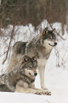 two beautiful wolves in the snow - Tiere des waldes - Wolf Photos, Wolf Pictures, Beautiful Creatures, Animals Beautiful, Cute Animals, Wild Animals, Baby Animals, Pra Loup, All About Wolves