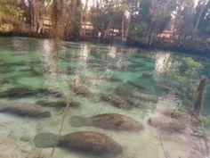Flood of manatees closes down Florida spring - GrindTV.com