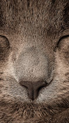 ↑↑TAP AND GET THE FREE APP! Animals Cat Sleeping Grey Muzzle Soft Cute Nose HD iPhone 6 plus Wallpaper