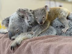 Adorable : Un bébé koala refuse de quitter le chevet de sa maman malade !