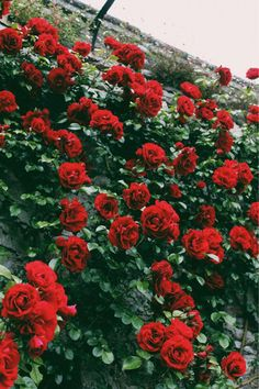 Imagem de rose, flowers, and red Dark Flower, Plants Are Friends, Red Aesthetic, Flower Aesthetic, Belle Photo, Cute Wallpapers, Phone Wallpapers, Aesthetic Wallpapers, Mother Nature