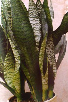 Tchýnin jazyk Plant Leaves, Plants, Veg Garden, Gardening, Cactus, Plant, Planting, Planets