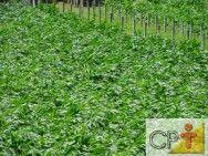 Processamento de Milho Verde: milho branco #alcanceosucesso