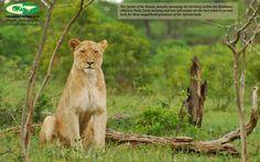 panthera leo - Nick van de Wiel