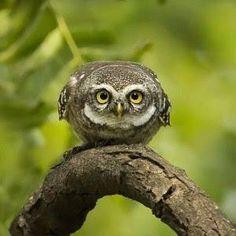 Spotted Owlet. Photo by Nisha Purushothaman.