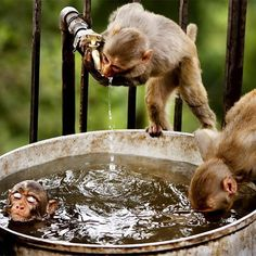 Monkey's bath time. Photo by Channi Anand #Padgram