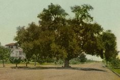 A massive oak tree stands in the middle of Orange Grove Avenue in Pasadena, circa 1890. Courtesy of the Photo Collection, Los Angeles Public...