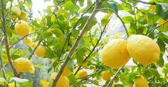 Las macetas son las mejores opciones para disfrutar de estos preciosos frutales…